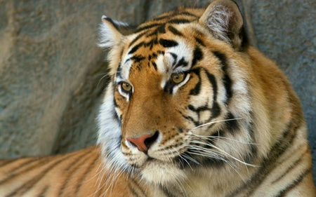 Bengal Tiger - tiger, animals, beautiful, bengal tiger, cats, indian tiger