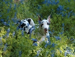 Great Dane in Texas Bluebonnets