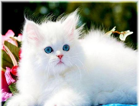 Sweetness with blue eyes - Cats & Animals Background ...