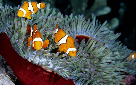Deep Sea Beauty - fish, orange, nature, sea, ocean, reef