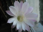 Cereus flower