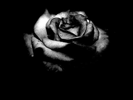 Black Rose - black rose, gothic, beautiful, dead, goth, beauty