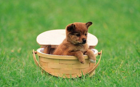 Cute baby dog - dog, basket, grass, sweet, puppy