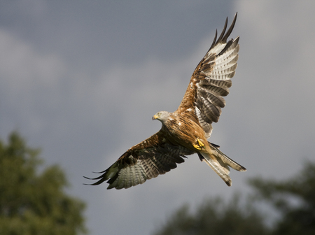 Red Kite ~ Milvus milvus - wings, kite, beak, scavengers, prey, in-flight, red kite, wing, red, talons, milvus milvus, inflight, birds, gigrin, bird, wales, flying