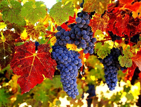 Wine country - grapes, red, leaves, blue, ripe, tree, yellow, orange