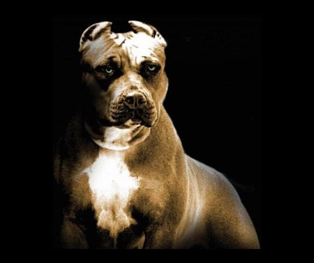 pitbull - pitbull, dog, animals