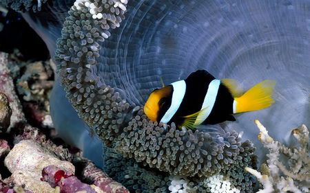 Exotic Reef Beauty - reefs, fish, anemone, exotic, coral