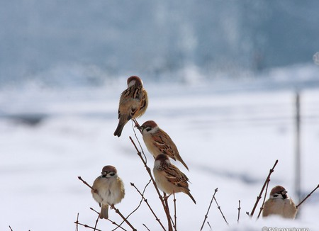 Birds in Winter - japan, tree, birds, cold, small, bare, snow, asia, frozen