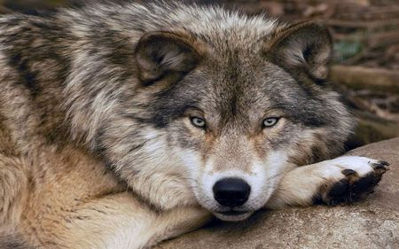 Timber Gaze - wolves, beauty, wolf, gaze, rock, timber, nature, lobo