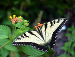 butterfly with broken tail on lantana