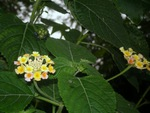 Lantana-Beauty in flowers