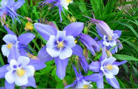 blue columbine  flowers  nature background wallpapers on desktop, Beautiful flower