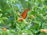 Lantana and a butterfly