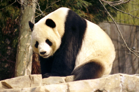 One Handsome Fella - bear, handsome, black, white, panda