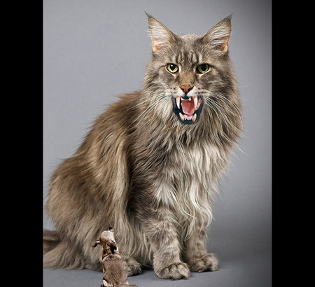 hybrid cat cats amp animals background wallpapers on