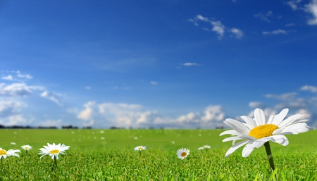 Field Of Daisies - green, flowers, daisies, beautiful, field, sky, pretty, yellow, clouds, white, grass, nature, peaceful, daisy