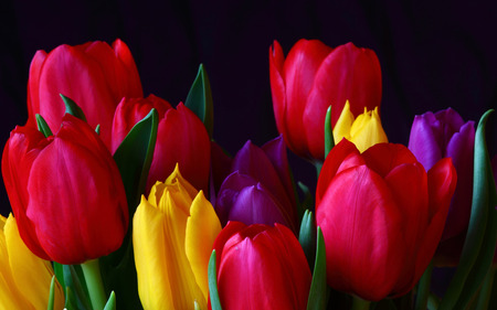Tulips - flowers, spring, beautiful, pink, pretty, beauty, red tulips, yellow, yellow tulips, purple, flower, red tulip, purple tulip, tulip, red, colourful, green, purple tulips, colorful tulips, colorful, colors, lovely, tulips, petal, photography, yellow tulip, still life, nature