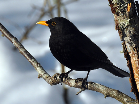 Image result for small black bird