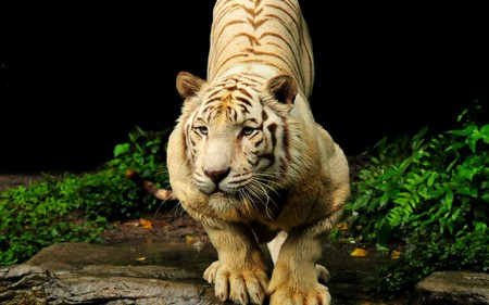 Tiger - tiger, nature, animals, forest