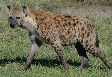 Hyena - nature, wildlife, animal, hyena