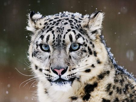 Snow Leopard - leopard, cat, white, cats, snow leopard, animal, snow, animals, feline, wildlife, wild