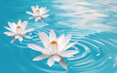 Lotus - lake, flowers, lotus, beautiful, colors, blue, pretty, lovely, beauty, water, white, nature