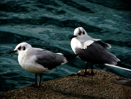 seagulls ... - seagulls, sea, beautiful, birds