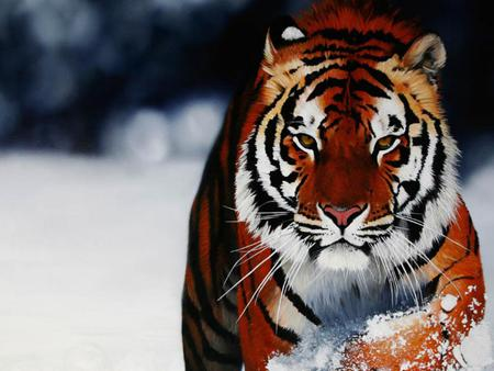 Majestic tiger - Cats & Animals Background Wallpapers on Desktop ...
