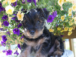 yorkie loves flowers