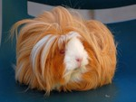 Hairy Guinea Pig