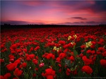 Red Poppies Field