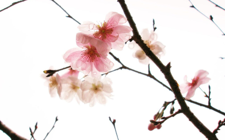 cherry blossoms - rain, cherry, flower, white, cute, beauty