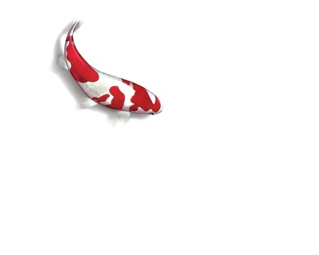 Koi Fish Art - koi, art, aquatic animals, fish