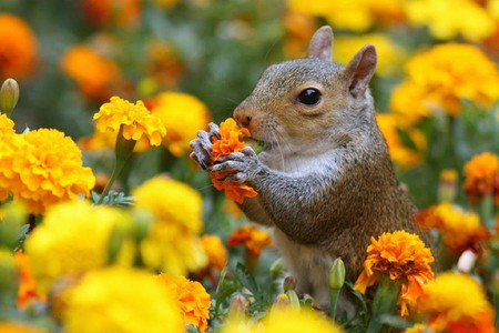 Squirrel in Flowers - flowers, squirrel, picture, beautiful
