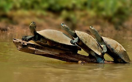 Collective Crossing - funny, turtles, animals, reptiles