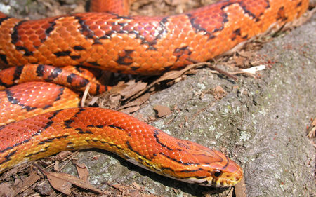 Corn Snake - snakes, reptiles, animals, corn
