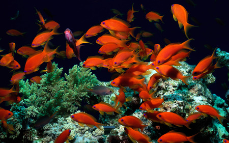 Sea of Orange - colour, tropical, fish, bright, beauty, coral, water, irridescent, vibrant, nature, ocean