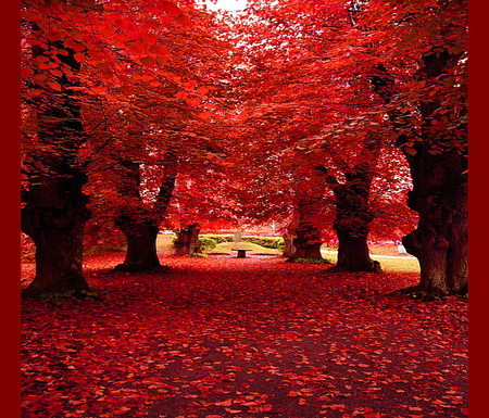 Maple way - leaves, leaves on ground, maple trees, red, autumn