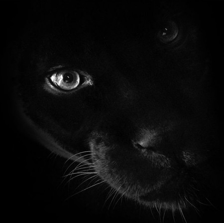 Panther Face - Cats & Animals Background Wallpapers on ... Panther Face