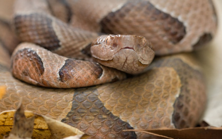 Ozark Copperhead Snake - animal, snake, poisenous, reptile