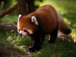 Red Panda or Firefox at Morning