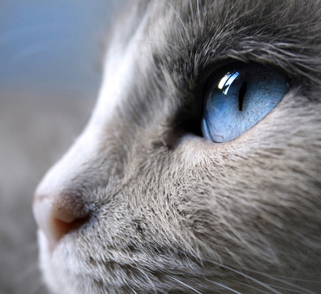 Blue Eyed Cat - blue eyes, upclose, feline, beautiful, blue, white cat, animal, beauty, photography, white, cat, cat eye, eye