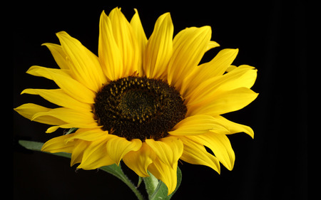 Pretty sunflower - flower, black, sunflower, nature, yellow
