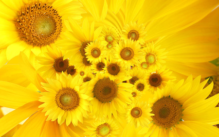 Yellow sunflowers - flower, nature, yellow, sunflower
