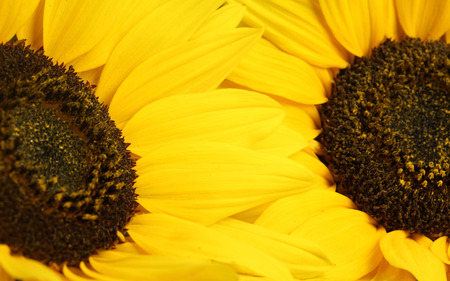 Yellow petals - flower, nature, yellow, sunflower