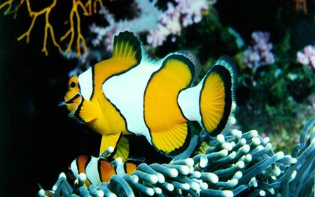 The-Clown-Fish - underwater, fish, animal, oceanlife