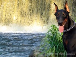 doberman_dog_photo