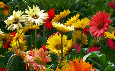 Garden of Daisies - flowers, garden, daisies, cheery, bright, daisy, colourful