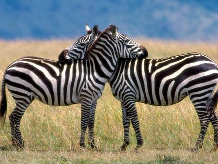 Zebras in Love - zebras, animals, zebra