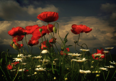 poppies & daisys - flowers, beautiful, field, white, red, art photo, daisys, poppies